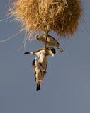 Vogels van een Veer Royalty-vrije Stock Afbeeldingen
