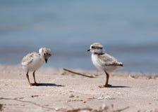 Vogels van een Veer Stock Foto