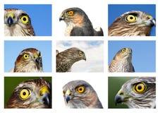 Vogels van Europa en Wereld - mus-Havik Stock Foto