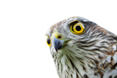Vogels van Europa - mus-Havik Stock Afbeelding
