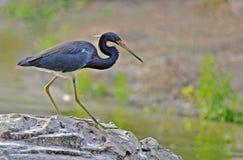 Vogels van het Moerasland van Messenmaker Bay Royalty-vrije Stock Foto