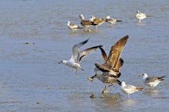 Vogels van Messenmaker Bay Wetlands Stock Afbeeldingen