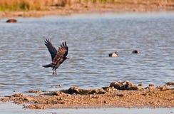 Vogels van Messenmaker Bay Wetlands, Zuid-Florida Royalty-vrije Stock Fotografie