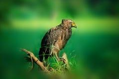 Vogels van Sri Lanka Zwart Eagle royalty-vrije stock afbeeldingen