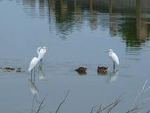 Vogels van Twee Veren Stock Fotografie