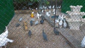 Vogels van verschillend soort op het landbouwbedrijf stock footage