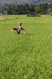 Vogelscheuche auf den Reisgebieten stockfotos