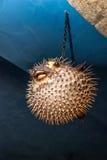 Vogelscheuche Porcupinefishanhänger zur Decke lizenzfreie stockbilder