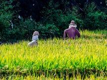 Vogelscheuchen auf den Reisgebieten stockbild