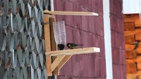 Vogelschickadees bij de vogelvoeders stock videobeelden