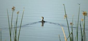 Vogelschwimmen auf See Lizenzfreies Stockbild