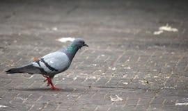 Vogelsduif stock fotografie