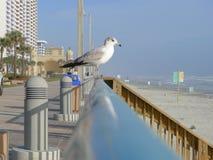 Vogelseemöwe auf dem Ufer von Daytona Beach Stockfotos