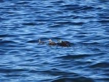Vogelsfamilie die op de golf van Finland zwemmen royalty-vrije stock afbeeldingen