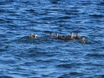 Vogelsfamilie die op de golf van Finland zwemmen stock foto's