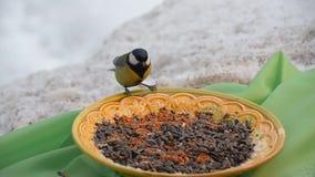 Vogelsmees het pikken zaden in de winter De plaat bevindt zich op een groene doek stock footage