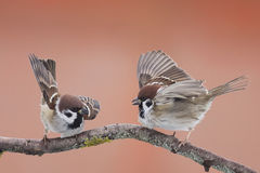 Vogelsmussen stock foto's