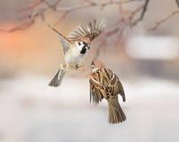 Vogelsmussen die in de lucht fladderen en in het Park debatteren Stock Afbeeldingen