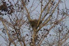 Vogelsnest in Crepe Myrtle Bush Stock Foto's