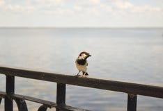 Vogelspatz stockfotografie
