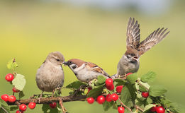 Vogelspatzen, die auf einer Niederlassung mit Beerenkirsche sitzen Lizenzfreie Stockfotos