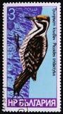 Vogelspezies von Spechten, Picoides tridactylus, circa 1978 Stockbild