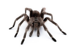 Vogelspinne. Spider on white table. macro view Stock Images