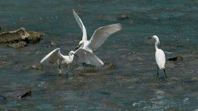 Vogelsstrijd voor voedsel Stock Foto