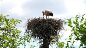 Vogelstorch im Nest mit Küken stock video