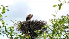 Vogelstorch im Nest mit Küken stock footage