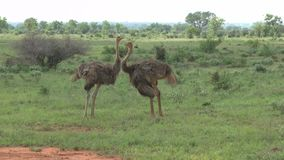Vogelstrauß in Savannah Safari in Kenia stock footage