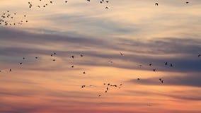 Vogelsvlieg in de avond in verschillende richtingen stock videobeelden