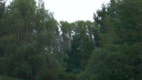 Vogelsvlieg over het bos, reigers in de lucht stock video