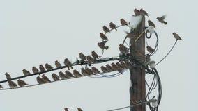 Vogelswaxwings zitten op machtslijnen in bewolkt sneeuwweer stock video