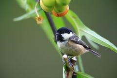 Vogeltannenmeise. Lizenzfreies Stockbild