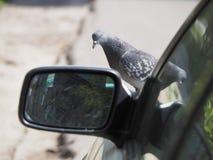 Vogeltaube auf der Haube des Autos nahe dem Spiegel lizenzfreies stockbild