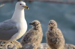Vogeltjezeemeeuwen Royalty-vrije Stock Afbeelding