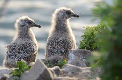 Vogeltjezeemeeuwen Stock Fotografie