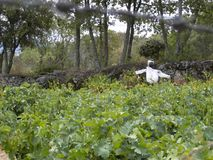 Vogelverschrikker in een wijngaard stock afbeelding