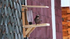 Vogelvlaamse gaai bij de vogelvoeder stock videobeelden