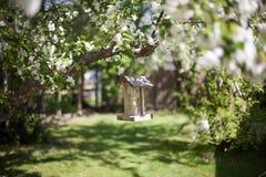 Vogelvoeder op een boom van de kersenbloesem Royalty-vrije Stock Foto's