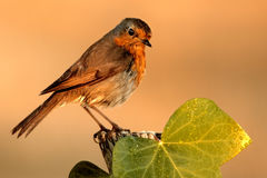 Vogelwaarneming bij de camera Stock Afbeeldingen