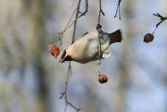 Vogelwaxwings die appelen in het Park eten, die op een tak hangen royalty-vrije stock foto