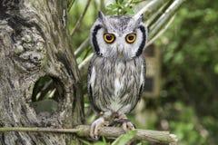 Vogelzitting in boom met grote oranje ogen Stock Fotografie