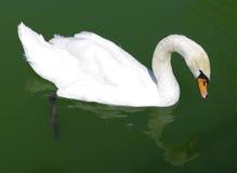 Vogelzwaan Royalty-vrije Stock Afbeeldingen
