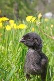 Voglio essere un corvo quando cresco Fotografie Stock Libere da Diritti