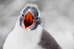 Voice of penguin. Fledgling penguin with a red beak looks into the camera and yells stock image