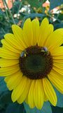 Bees on a Sunflower royalty free stock photos