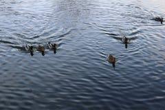 Voici venir les oiseaux d'un petit morceau de photo dans l'eau dans l'heure d'été en Suède Image libre de droits