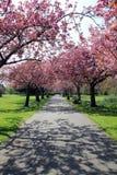 Voie avec des bancs sous les fleurs roses en parc de Greenwich Photos stock